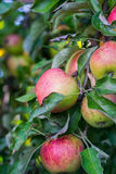 Apple Tree. A apple tree in the garden Stock Photography