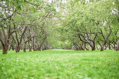 Apple tree garden background royalty free stock image