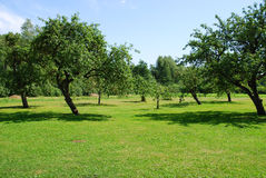 Apple tree garden. And blue sky background Royalty Free Stock Photo