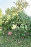 Apple Tree Garden In Early Morning With Basket With Apples And Ladder Near Fruit Tree Stock Photography