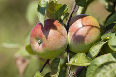 Apple-tree garden Stock Photography