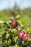 Apple-tree garden Royalty Free Stock Image