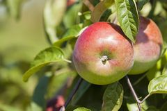 Apple-tree garden Royalty Free Stock Images