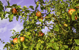 Apple tree. In garden with red delicious apples Royalty Free Stock Photo