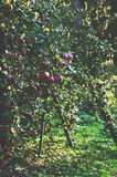 Apple tree garden Royalty Free Stock Photography