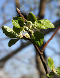 Apple tree in the garden in spring. Apple tree garden in the spring buds clearly plant a tree flowers soon a green natural Royalty Free Stock Images