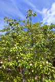 Apple-tree garden in the summer Stock Image