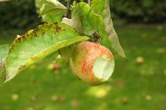 Appletree Royalty Free Stock Image
