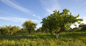 Apple-tree garden Stock Photo