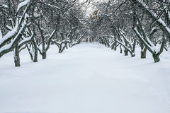 Apple-tree garden in winter Royalty Free Stock Photo