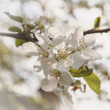 Apple-tree gentle blossoming in sunlight. Royalty Free Stock Photo