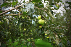 Apple tree with green apples Royalty Free Stock Image