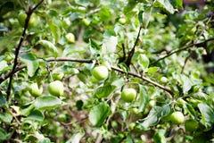 Apple tree Royalty Free Stock Photo