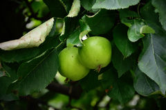 Apple-tree Royalty Free Stock Image