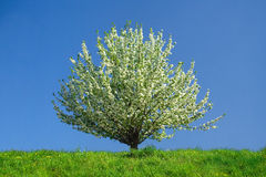 Apple-tree on green grass. At spring (on blue sky background Stock Photography