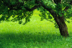 Apple tree and green grass Stock Photos