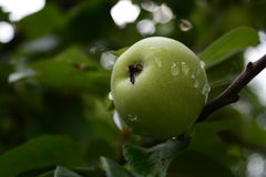 Apple on the tree. Green apple hanging from a tree Royalty Free Stock Photos