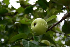 Apple on the tree. Green apple hanging from a tree Royalty Free Stock Images