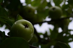Apple on the tree. Green apple hanging from a tree Stock Photography