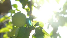 The apple tree green morning sunlight garden agriculture slow motion video. Apple tree green morning sunlight garden agriculture slow motion video stock video