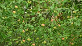 Apple tree with green and red apples 4K long shot stock footage