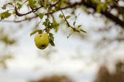 Apple in tree. Green wormy autumn apple in tree in autumn time Stock Image