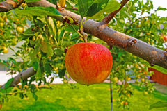 The apple tree Royalty Free Stock Photo
