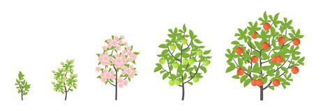 Apple tree growth stages. Vector illustration. Ripening period progression. Fruit tree life cycle animation plant seedling. Apple. Increase phases. Flat vector royalty free illustration