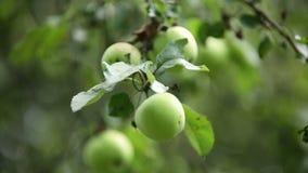 Apple tree harvest, green apples stock footage