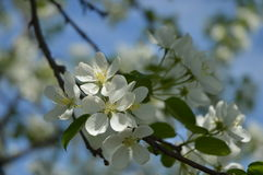 Apple tree i blom Arkivfoto