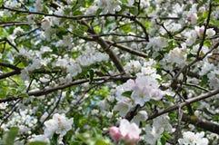 Apple tree i blom Arkivbild