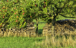 Apple Tree In Countryside Stock Images
