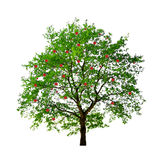 Apple tree isolated Stock Photos