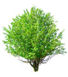 Apple-tree isolated Royalty Free Stock Photos
