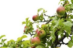 Apple tree isolated on white Royalty Free Stock Image