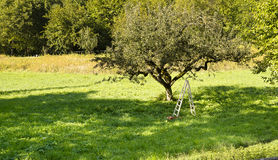 Apple tree and ladder Stock Images