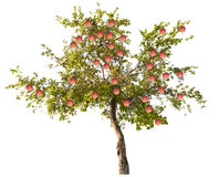 Apple tree with large pink fruits on white Royalty Free Stock Photos