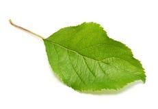 Apple tree leaf. Isolated on white background Royalty Free Stock Photo