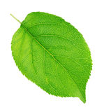 Apple tree leaf isolated on a white. Green apple tree leaf isolated on a white background Royalty Free Stock Photography