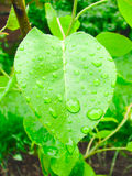 Apple Tree leaf after the rain. Spring Royalty Free Stock Image