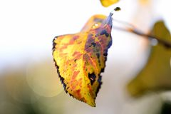 Apple Tree Leaf stock images