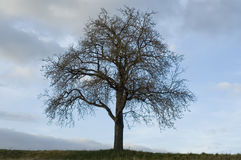 Apple tree. Leafless tree in front of cloudy sky Royalty Free Stock Photo