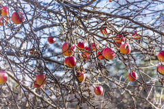 apple tree without leaves Stock Photography