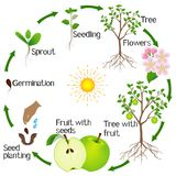 Apple tree life cycle isolated on white background. Apple tree life cycle isolated on white background, beautiful illustration vector illustration