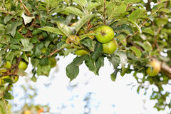 Apple tree. Apple tree loaded with apples. Fruits Stock Photo