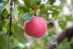 Apple on the tree Royalty Free Stock Images