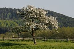 Apple tree in Lower Saxony, Germany Stock Photos