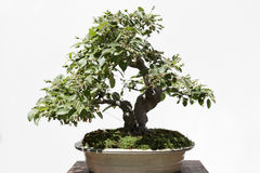 Apple tree (Malus) bonsai Royalty Free Stock Photography