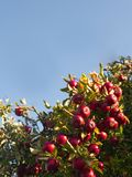 Apple tree with many red apples, and a blue sky royalty free stock photos