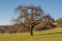 Apple tree on a meadow without apples and foliage stock images